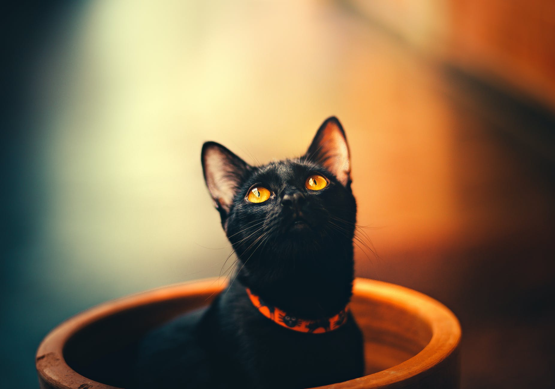 selective focus photography of bombay cat; horror; spooky cat